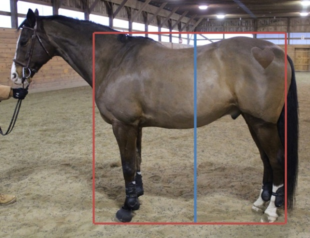 Using the box from the first step (red box), draw a line through the center of the horse (blue) and measure the distance on either side.