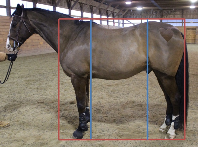 Using the box from before (red box), draw a line from the top of the withers to the ground and the point of hip to the ground (blue lines).